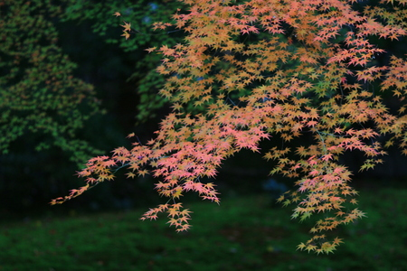 momiji: red japanese maple autumn fall , momiji tree in kyoto japan