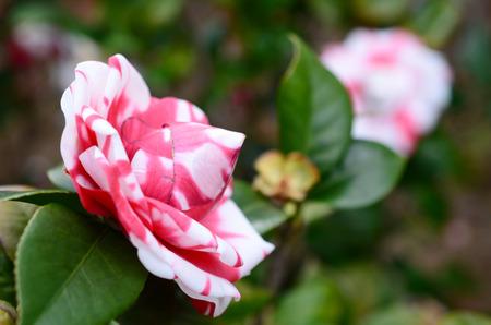camellia japonica: Camellia japonica, Theaceae