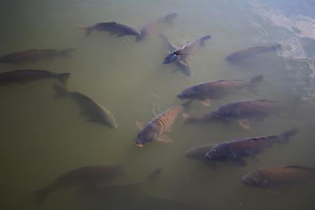 koy: Carp, Pond, Fish, Koy