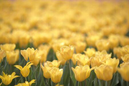 Tulipa gesneriana Stock Photo