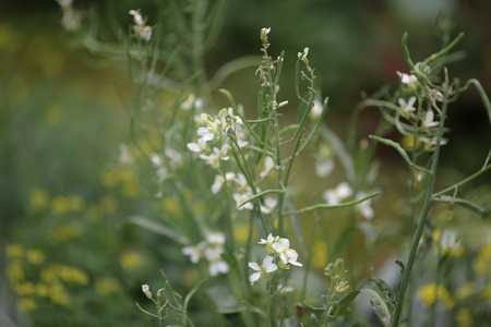 queen anne   s lace: flowering carrots Stock Photo