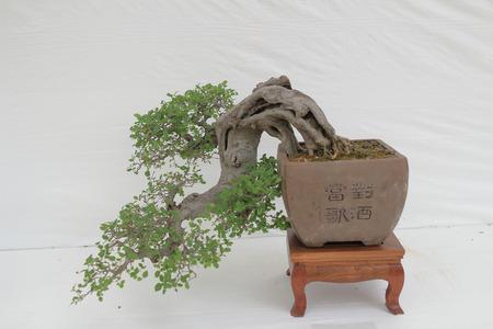 白い壁に盆栽の松の木