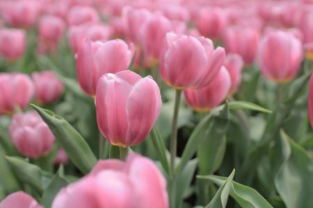tulipa: Tulipa gesneriana Stock Photo