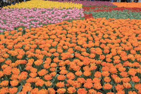 orange Tulipa