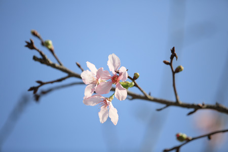 Early spring cherry blossom with soft photo
