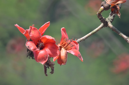 red silk: Red Silk Cotton Flower
