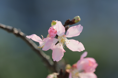 Cherry blossoms with lights and bokeh photo