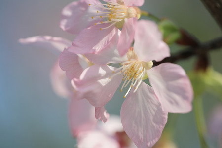 Cherry blossoms in pink color photo