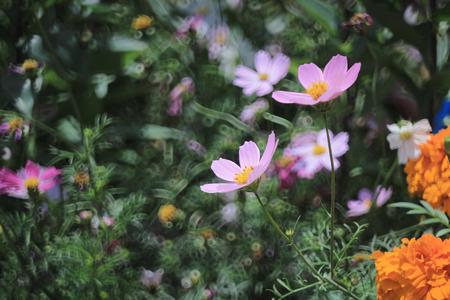 flower show: Cosmos bipinnatus, mostra floreale