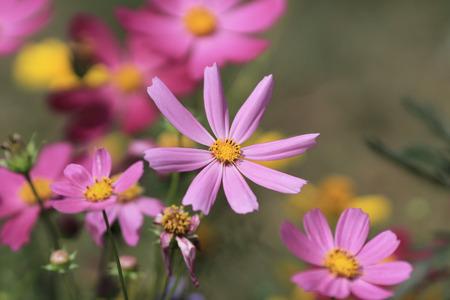 flower show: Cosmos bipinnatus, flower show Stock Photo