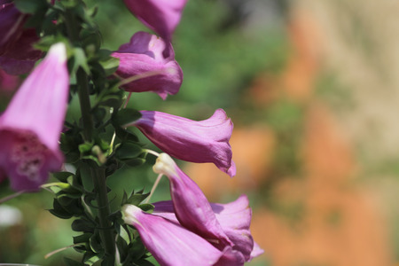 lamiales: purple foxglove