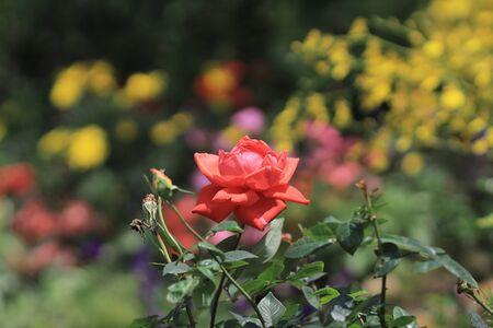 beauties: red rose at garden Stock Photo