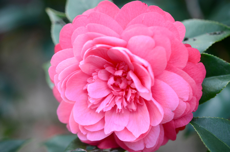 christmas perfume: Camellia japonica Stock Photo