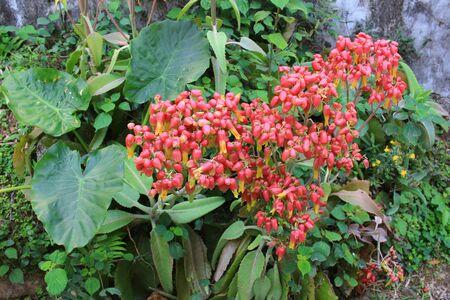 stamin: Ixora chinensis