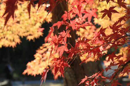 full red: full red leaves in japan garden at Kyoto, japan