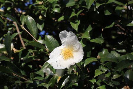 camellia japonica: Camellia japonica with nature background