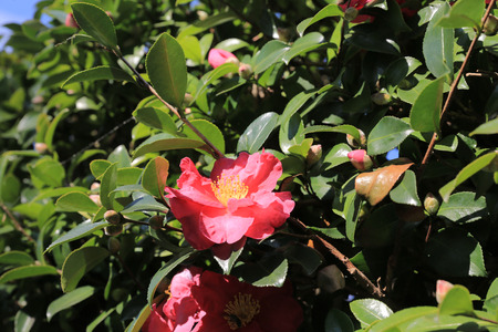 japonica: Camellia japonica with nature background