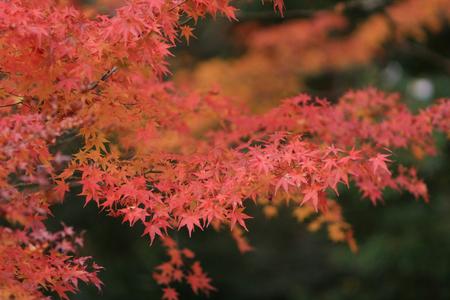 a fall season in japan at Rurikoin photo