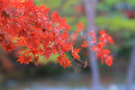 japanese fall foliage: Japanese maple colored leaves Stock Photo