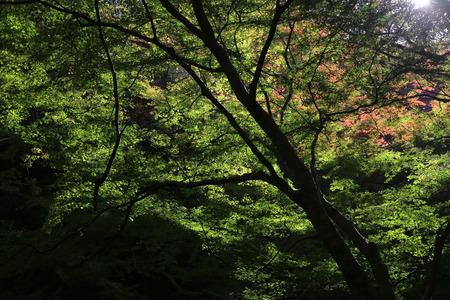miracle leaf: Minoh waterfall in autumn, Osaka, Japan Stock Photo