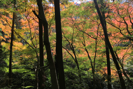 miracle leaf: a Colorful maple leaf background in autumn, Osaka Japan