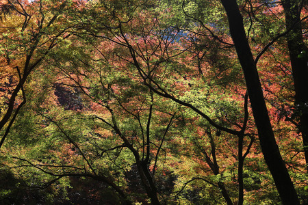 miracle leaf: a Minoh waterfall in autumn, Osaka, Japan Stock Photo