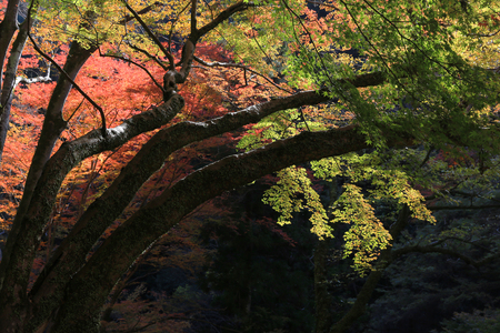 miracle leaf: the Minoh in autumn, Osaka, Japan