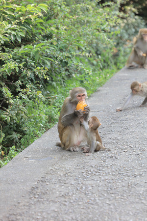 the monkey in Kam Shan Country Park, Kowloon, Hong Kong