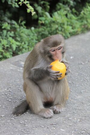 country park: A monkey in Kam Shan Country Park, hk