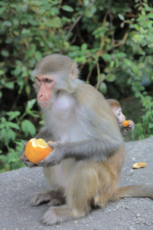 captivating: A monkey in Kam Shan Country Park, hk