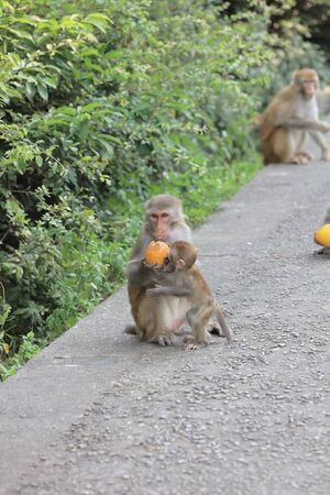 dishy: A monkey in Kam Shan Country Park, hk