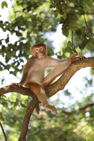 country park: the monkey in Kam Shan Country Park, Kowloon, Hong Kong
