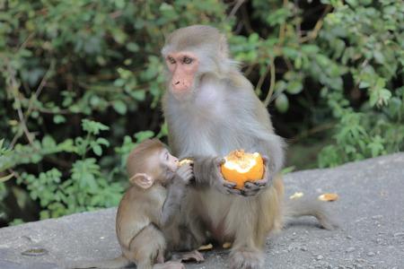 dishy: the monkey in Kam Shan Country Park, Kowloon, Hong Kong