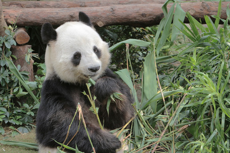 giant panda eating bamboo leaves in Hong Kong Ocean Park