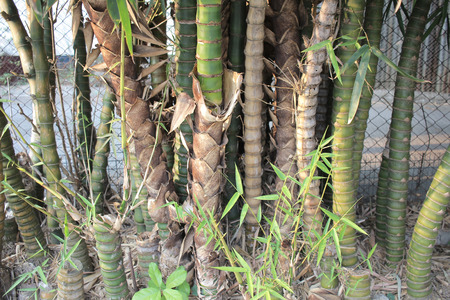 wilds: the Bamboo in bamboo forest at nature