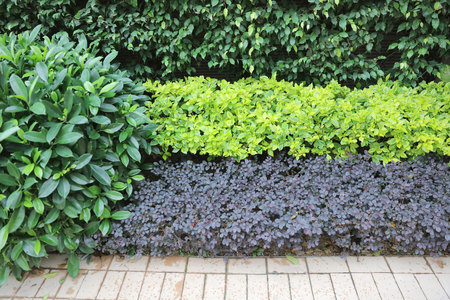 species of creeper: the Colourful leaves wall background at outdoor