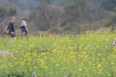 sha lo tung: the  Rape flower on field at Sha Lo Tung Cheung Uk Stock Photo