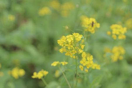 sha lo tung: yellow green field in spring at Sha Lo Tung Stock Photo