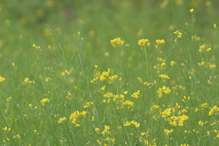 green yellow: yellow green field in spring at Sha Lo Tung Stock Photo
