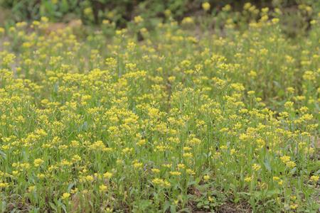 sha lo tung: the Colza Brassica rapa Rape flower on field