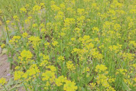 sha lo tung: yellow flower field in Sha Lo Tung