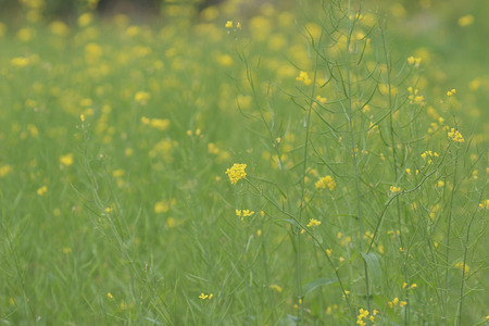 brassica: the Colza Brassica rapa Rape flower on field