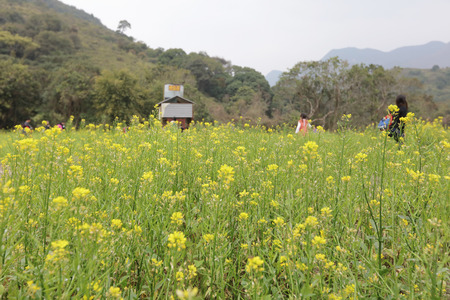 sha lo tung: yellow flower field in Sha Lo Tung  hk