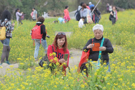sha lo tung: the  Rape flower on field at Sha Lo Tung Cheung Uk Editorial