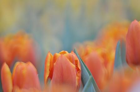 flower show: the tulip in flower field at hk flower show