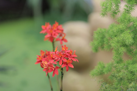 red orchid: the Red orchid flower Epidendrum radicans