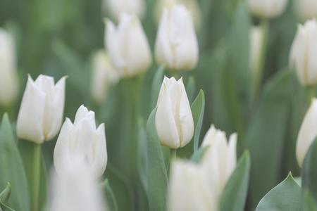 flower show: the Tulip flower fields  at flower show