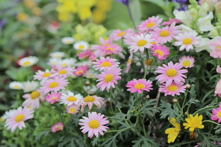 margarite: the Daisy flower bed at nature