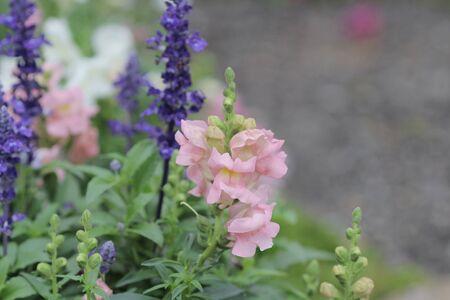 snapdragon: the Antirrhinum majus in garden at nature