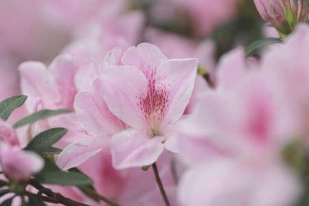 chubu: the Stunning pink azalea branch with nature
